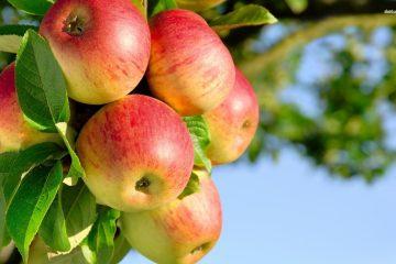 نهال میوه