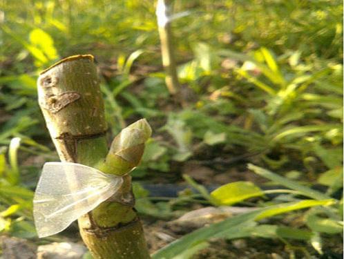 پیوند درخت پیوند وصله ای شکل اصلی