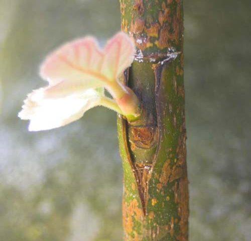 شکل پیوند درخت . در این تصویر پیوند شکمی آمده است.