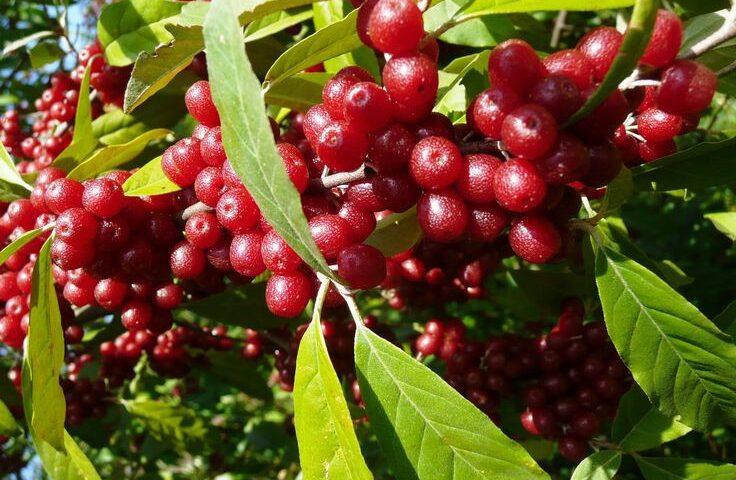 انگور ژاپنی