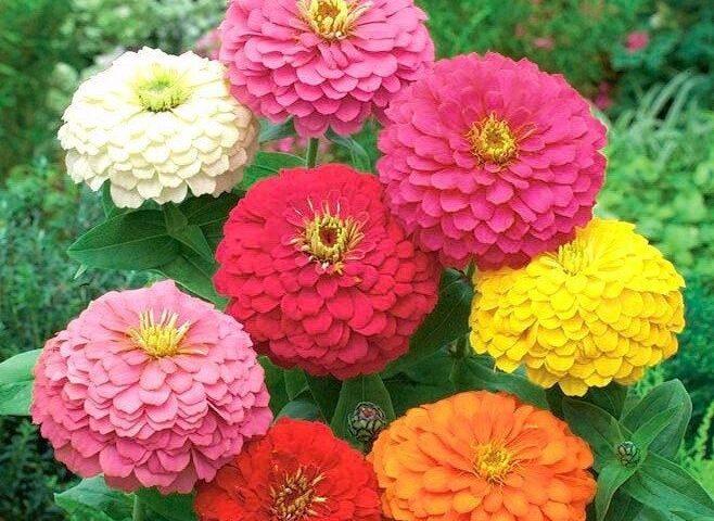 گل آهار