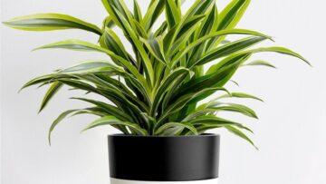 گیاه دراسنا