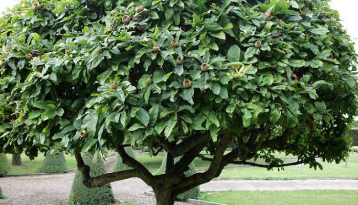 16-42-37-medlar tree shape and topiary
