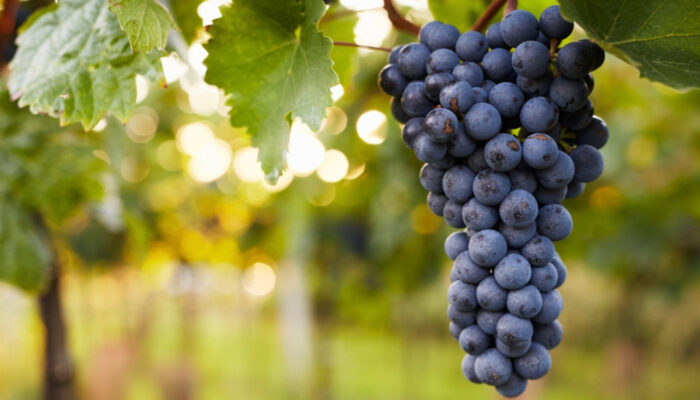 6-Mistakes-Lead-Your-Grapes-to-Get-Sick1